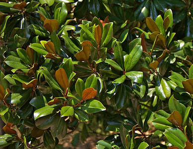 Southern Magnolia; Bull Bay; Bull-bay; Evergreen Magnolia, Magnolia, Loblolly Magnolia; Laurel-leaved Magnolia (Magnolia grandiflora); native to the Southeastern U. S., at the Jacksonville Zoo and Gardens.