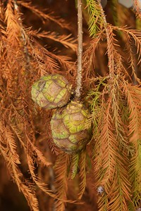 Bald Cypress Cones