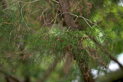 Eastern Red-cedar; Red Cedar; Eastern Juniper; Red Juniper; Pencil Cedar; Chansha; Hante' (Juniperus virginiana); native to east of the Rocky Mountains, Canada to Florida, at the Jacksonville Zoo and Gardens.