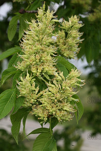 Buckeye Tree (Aesculus sp.) bloom.  The fruit, and twigs are poisonous.