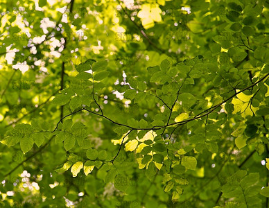 Yellowwood Tree Leaves
