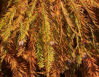 Cypress Twig Midge Gall
