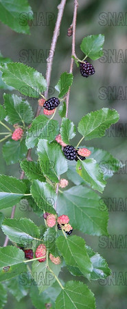 Mulberry Tree (Morus ssp.), leaves and fruit.
