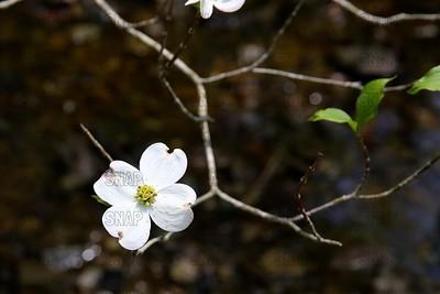 Dogwood Tree Flower