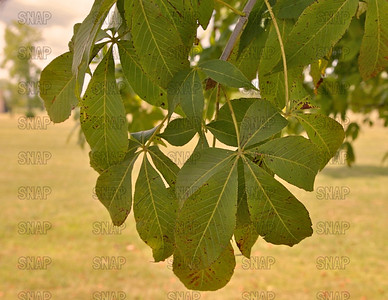 Buckeye Tree (Aesculus sp.) leaves.  The fruit, and twigs are poisonous.