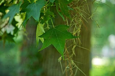 Sweetgum Tree (Liquidambar styraciflua) leaves.