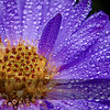 Dew on Purple Aster