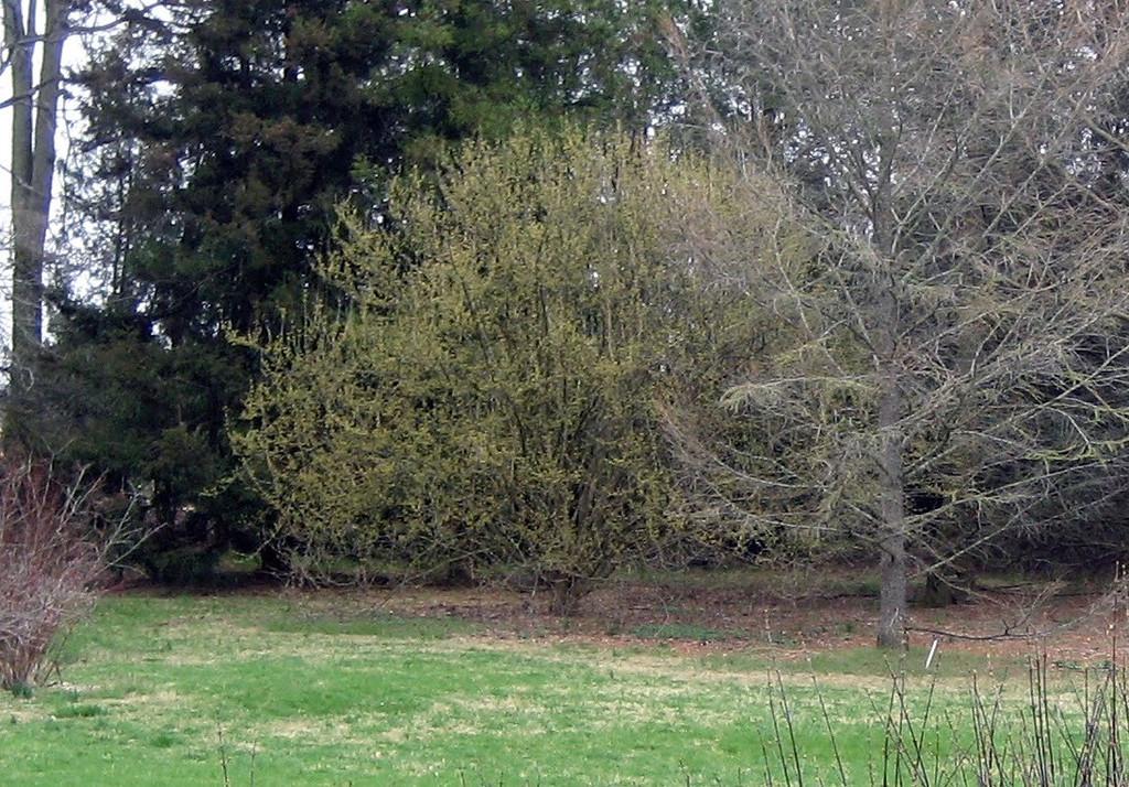 Corneliancherry dogwood 2