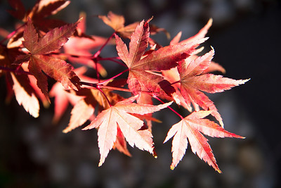 Maple autumn leaves
