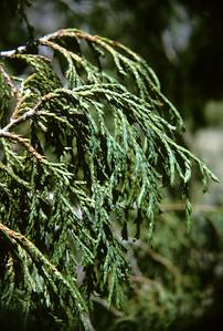 Drooping Juniper (Juniperus flaccida) Big Bend National Park, TX, 1966