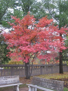 Amelanchier fall color