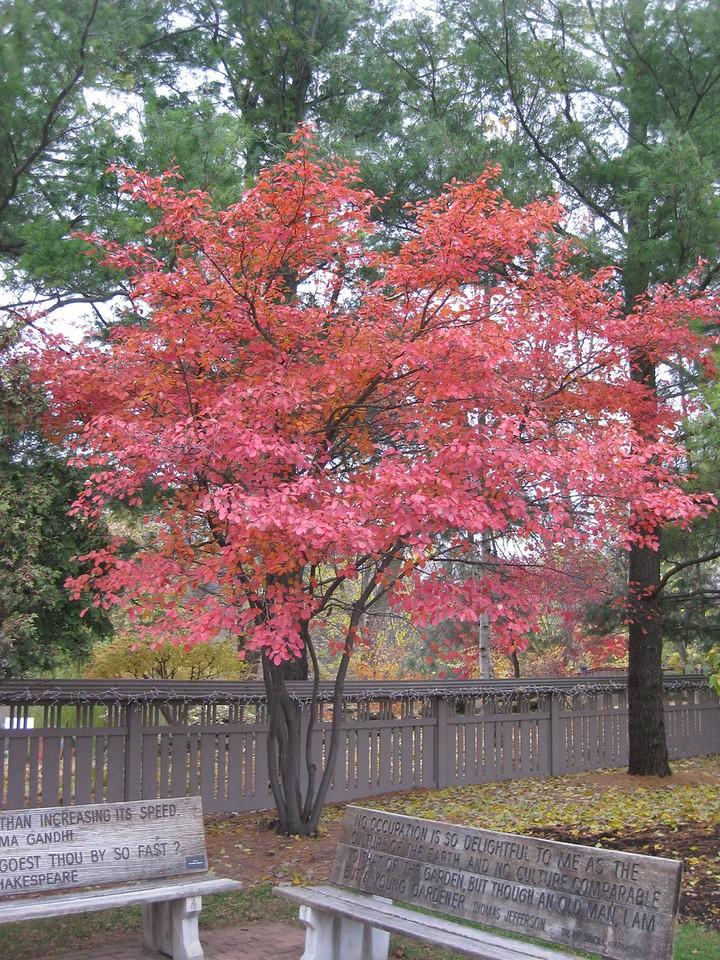 Amelanchier fall color