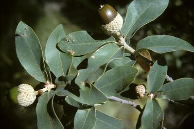 Gray Oak (Quercus grisea) Big Bend National Park, TX, 1966