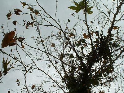 California Sycamore (Platanus racemosa), ) Riverside, 11 Nov 2003
