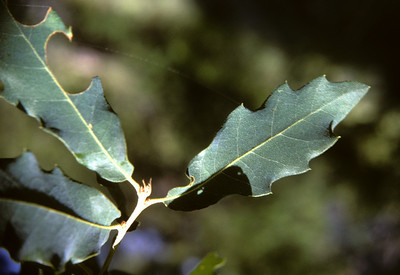 Emory Oak (Quercus emoryi) Big Bend National Park, TX, 1966
