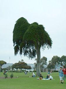 Monterey Cypress (Cupressus macrocarpa),  Scripps Park, La Jolla, 27 Jun  2003
