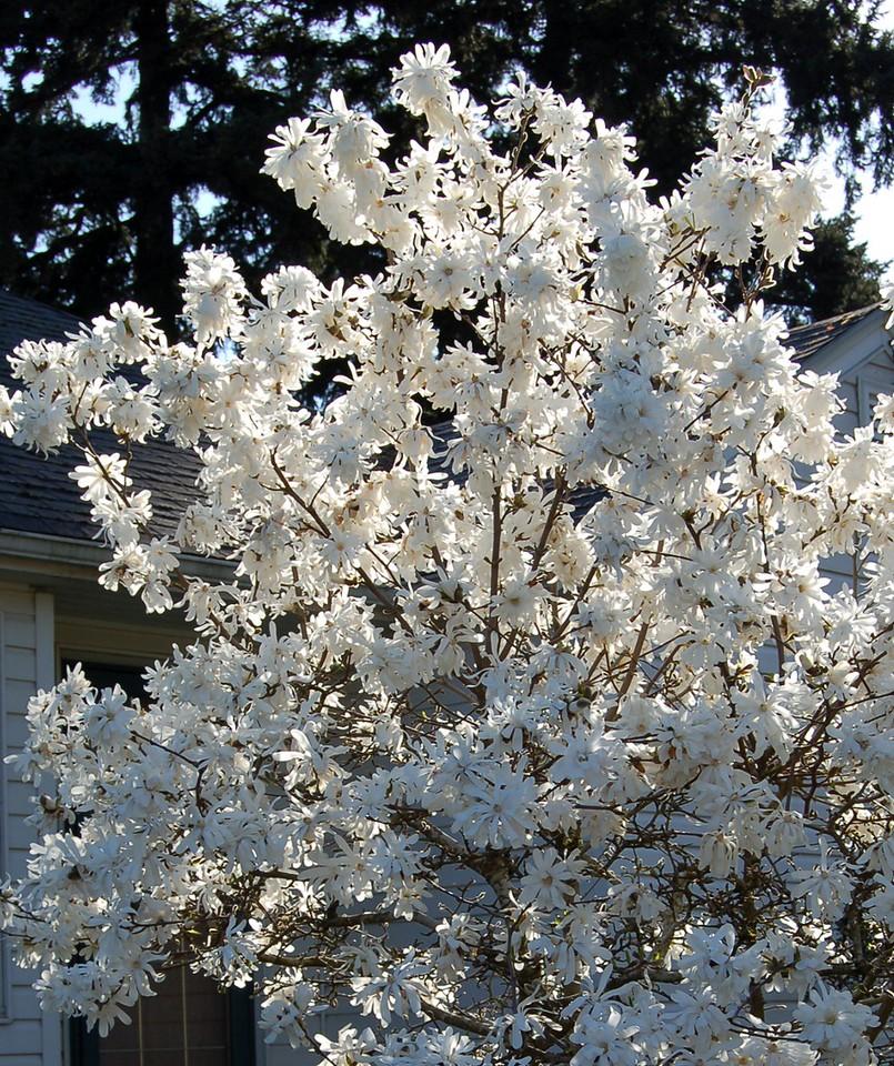Magnolia stellata Royal Star -1
