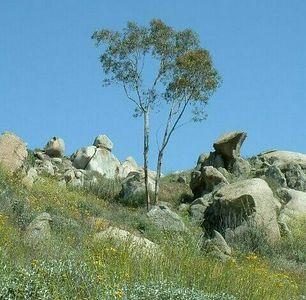 Eucalyptus. Lakeview Mountains, 10 May 2003