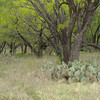 Mesquite trees and prickly pear cactus at Stasney's Cook Ranch in Albany, Texas.