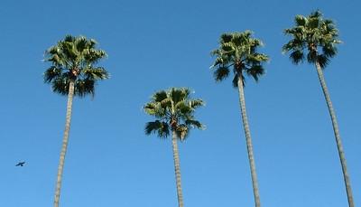 Mexican Fan Palms (Washingtonia robusta), University Ave. -- 20 Dec 2004