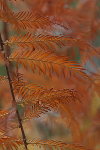 A close-up of dawn redwood needles a critically endangered deciduous conifer.