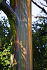 Rainbow eucalyptus, Eucalyptus deglupta, is the only eucalyptus naturally occuring in the Northern Hemisphere. Maui, Hawaii