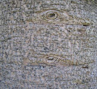 Monkey Puzzle Tree (Araucaria araucana), White Park, Riverside, 24 Jan 2005