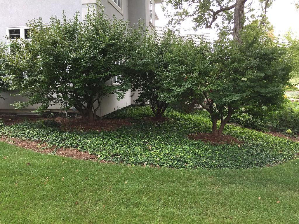 Viburnum prunifolium 3