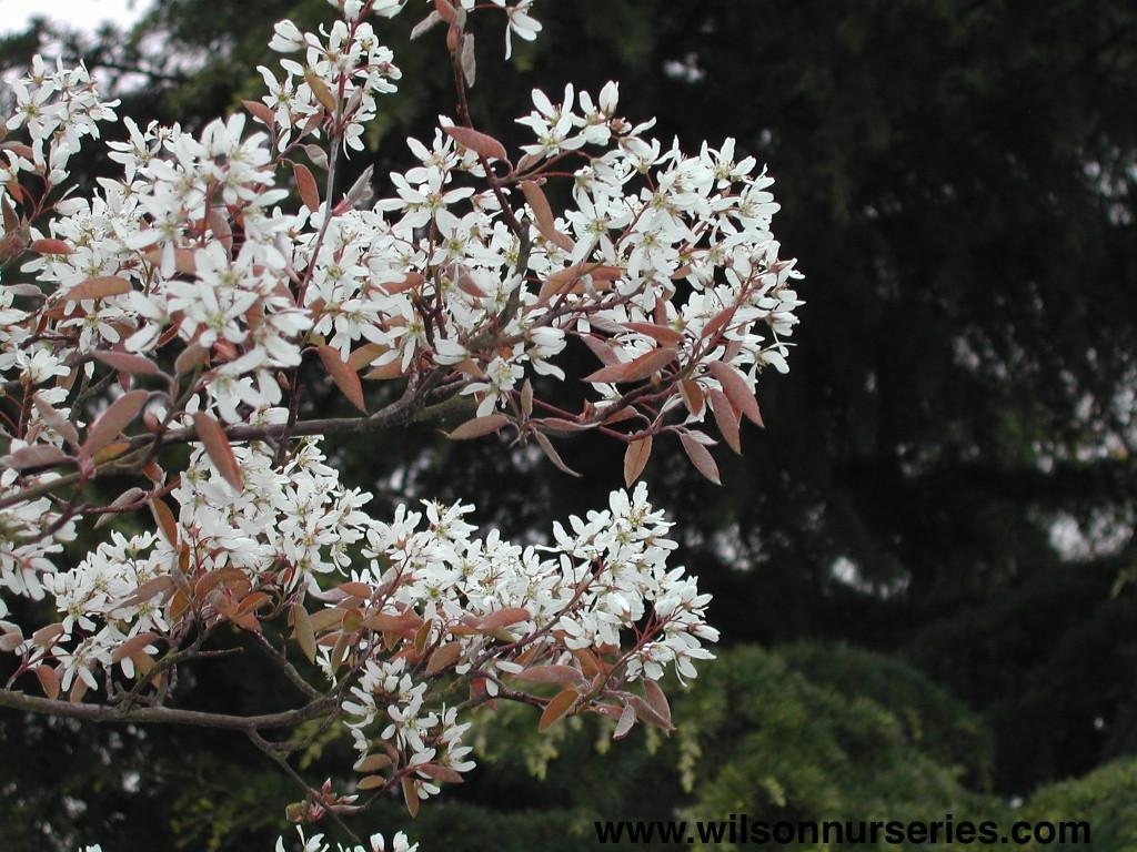 Amelanchier grandiflora Coles Select 3