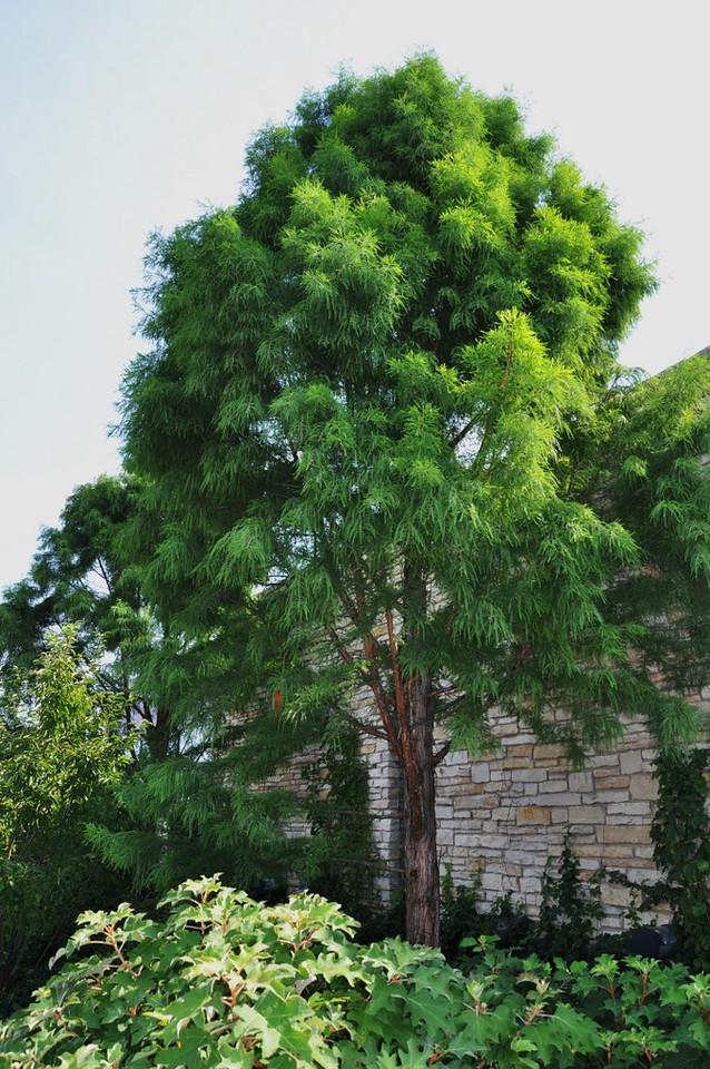 Taxodium distichum 'Shawnee Brave' 5