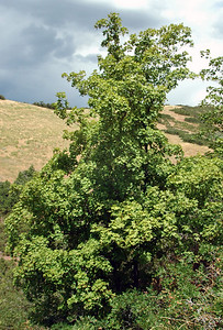 Bigtooth maple, Acer grandidentatum, is a species of maple native to interior western North America, occurring in scattered populations from western Montana in the United States south to Coahuila in northern Mexico.