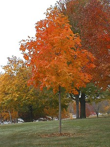 Acer saccharum 'Fall Fiesta' Sugar Maple 1
