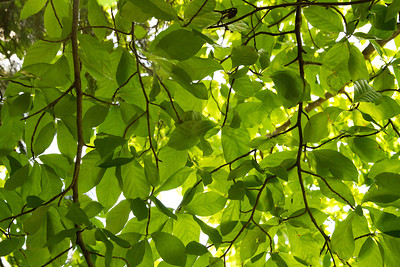 Leaf canopy in the park