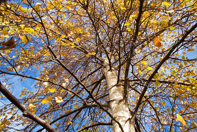 Aspen tree in autumn