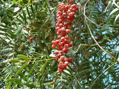 California Pepper Tree (Schinus molle) -- 15 Jun 2003