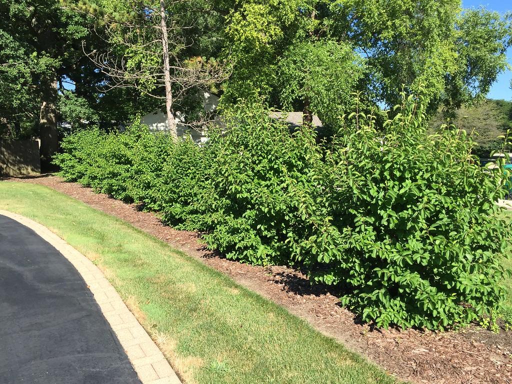 Viburnum prunifolium hedge