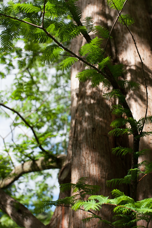 An dawn redwood (Metasequoia) tree in sunlight.  These Chinese trees are endangered in the wild, but are widely cultivated.  These redwoods are a bit smaller than the Californian redwoods, and their needles actually turn red in the autumn.