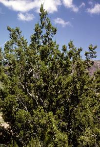 Oneseed Juniper (Juniperus monosperma) Big Bend National Park, TX, 1966
