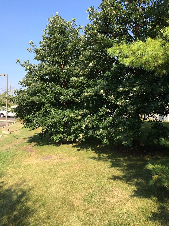 Quercus bicolor 2