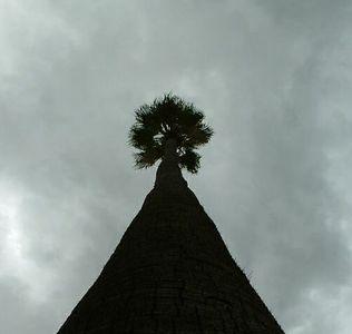 Mexican Fan Palm (Washingtonia robusta), Riverside, 11 Nov 2003