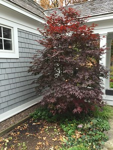 Acer palmatum 'Bloodgood' Japanese Maple 2