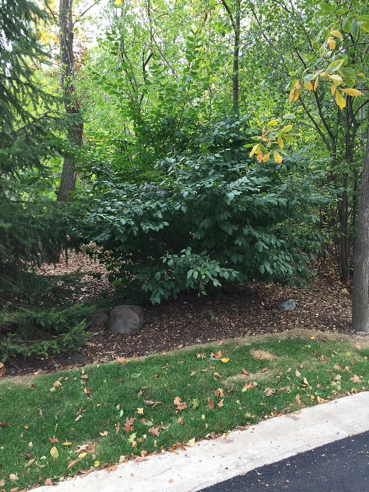 Viburnum prunifolium 4