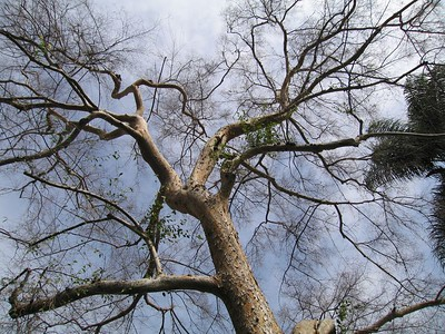Chinese Elm (Ulmus parvifolia), White Park, Riverside, 25 Jan 2005