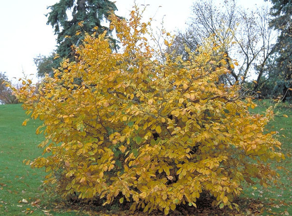Witchhazel - native (common) 1
