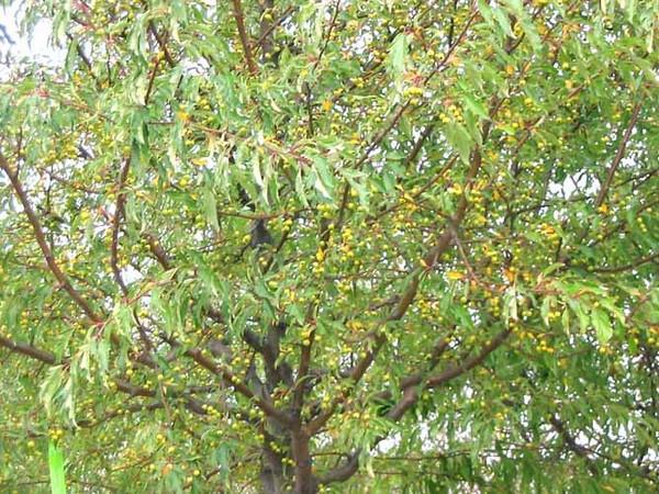 Golden Raindrops Fruit
