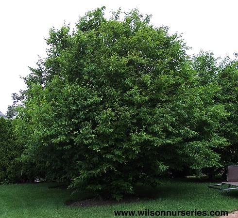 Carpinus caroliniana Ironwood Blue Beech -1