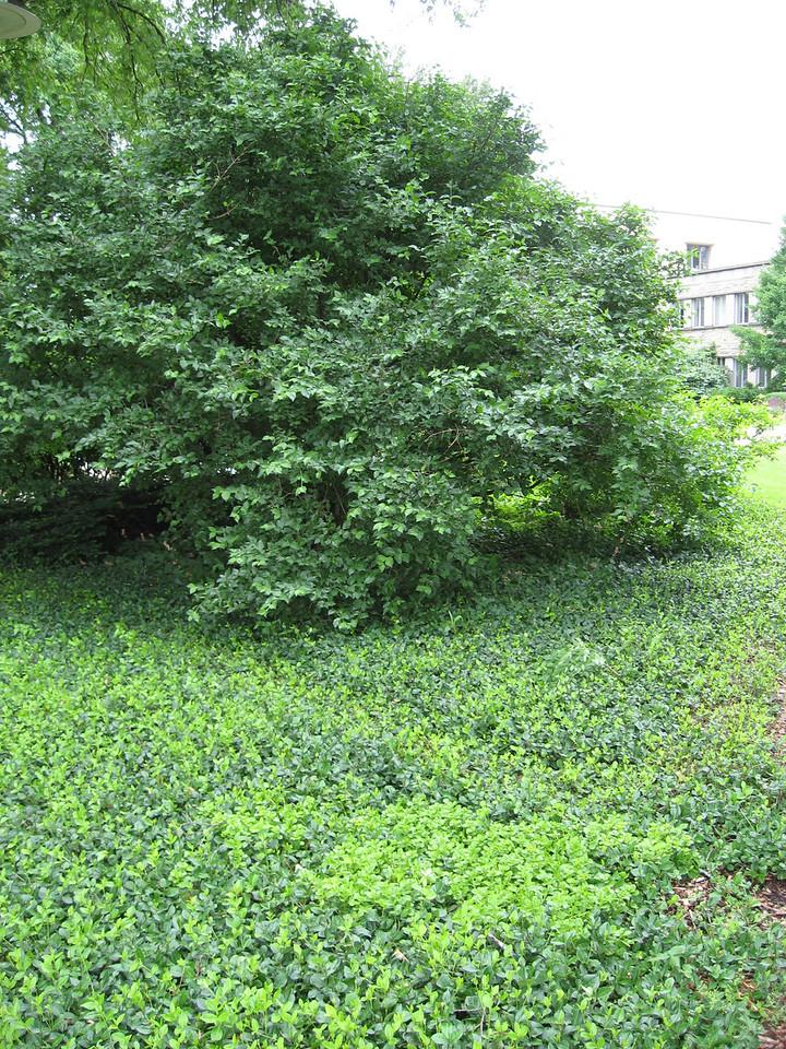 Corneliancherry dogwood