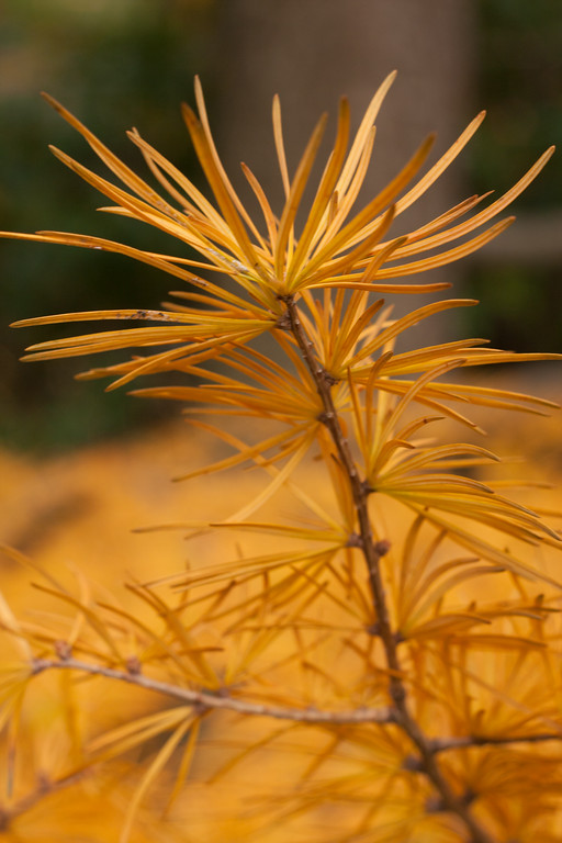 A close-up of larch needles, a deciduous conifer.