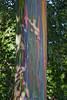 Rainbow eucalyptus, Eucalyptus deglupta, is the only eucalyptus naturally occuring in the Northern Hemisphere. Maui, Hawaii