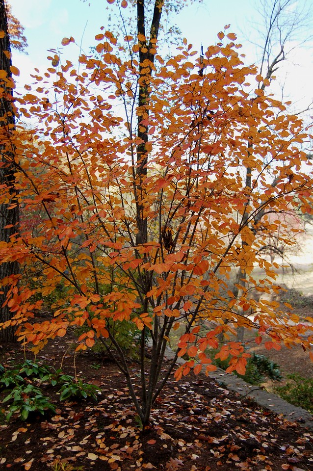 Amelanchier fall color 2